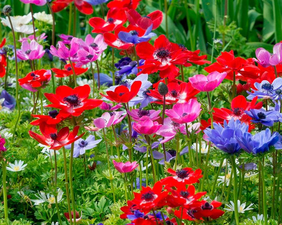 Цветок анемона – посадка и уход, фото анемоны, выращивание анемоны и виды: анемона корончатая, махровая и т 364