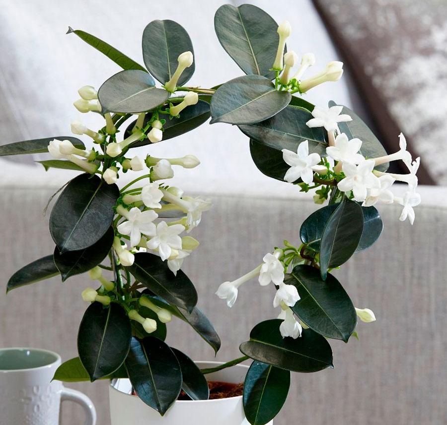 Цветок Стефанотис: уход в домашних условиях, фото. Стефанотис флорибунда. Стефанотис мадагаскарский жасмин