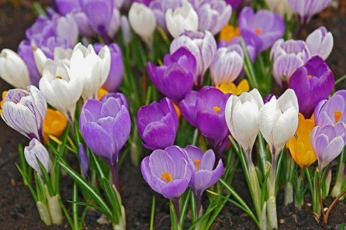 Крупноцветковые крокусы