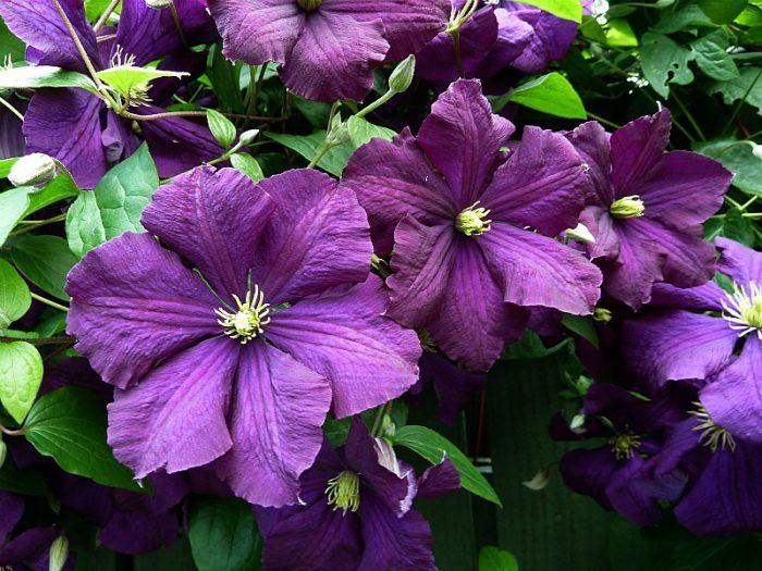 Клематис фиолетовый (Витицелла)