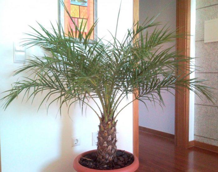 Уход за финиковой пальмой в домашних условиях