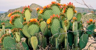 Опунция (Зимостойкий кактус)
