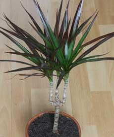 драцена драконовое дерево уход в домашних условиях