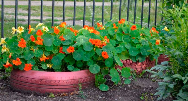 Настурция из семян: посадка и уход, когда сажать, как выраст.