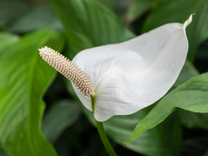 Спатифиллум ложковидный (Spathiphyllum cochlearispathum)