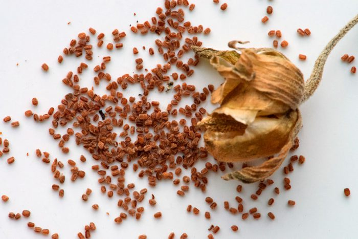 Размножение наперстянки семенами