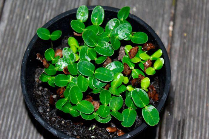 Размножение стефанотиса семенами