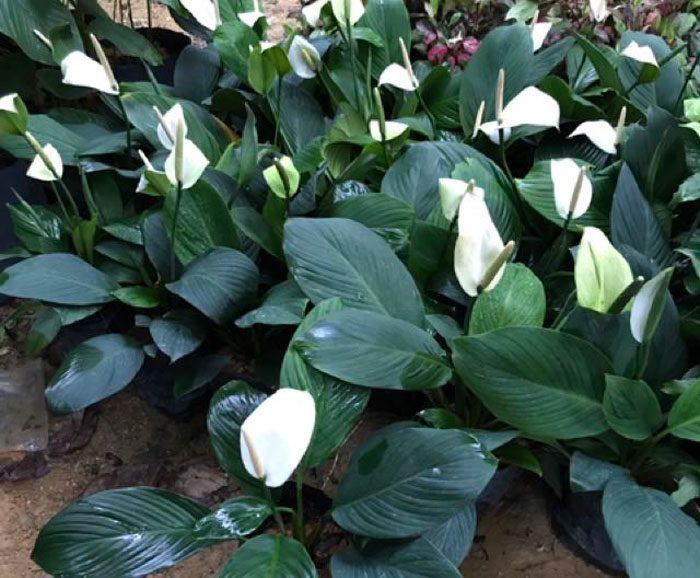 Спатифиллум каннолистный (Spathiphyllum cannifolium)