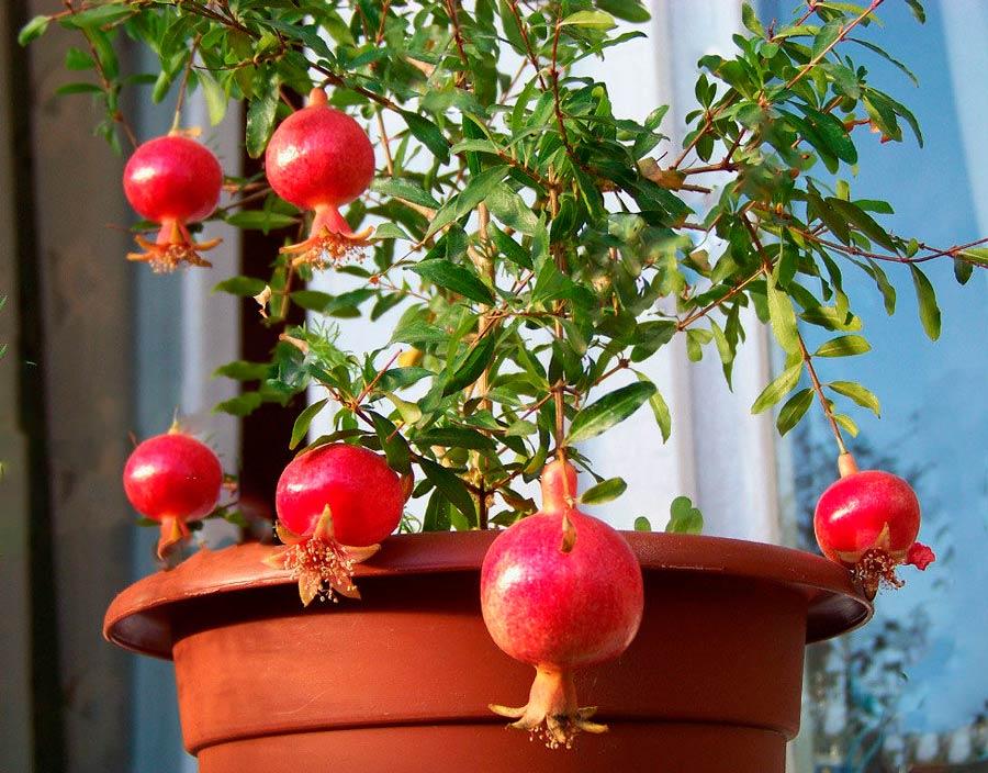 Гранат: уход в домашних условиях, выращивание из косточки, пересадка