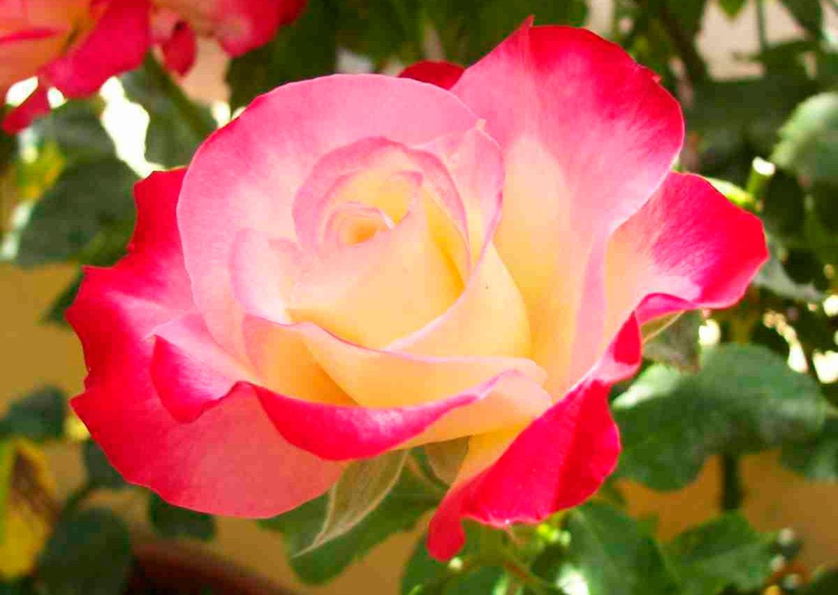 for Rose da giardino