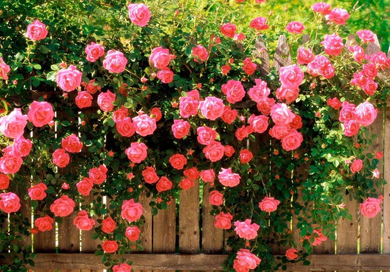 Как ухаживать за розами в открытом грунте