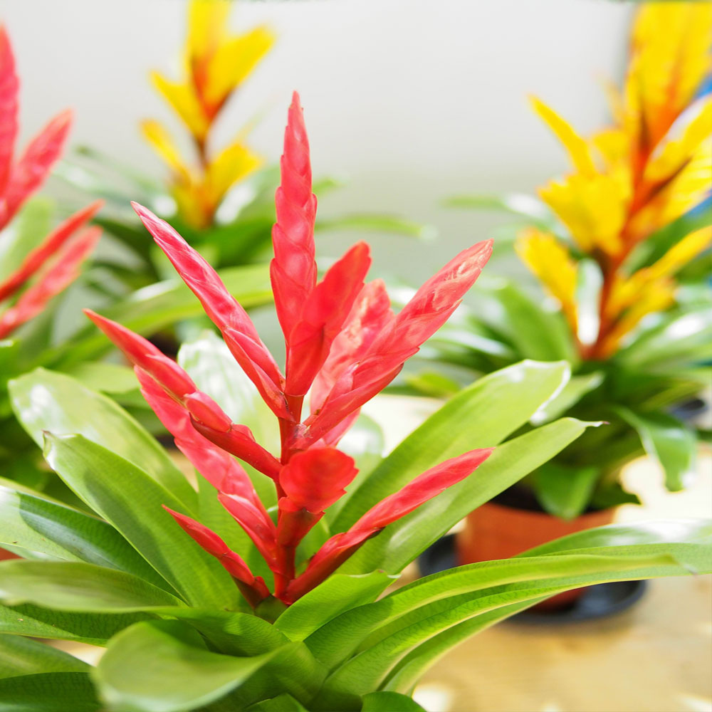 Цветок вриезия спленриет (блестящая): уход в домашних условиях, фото