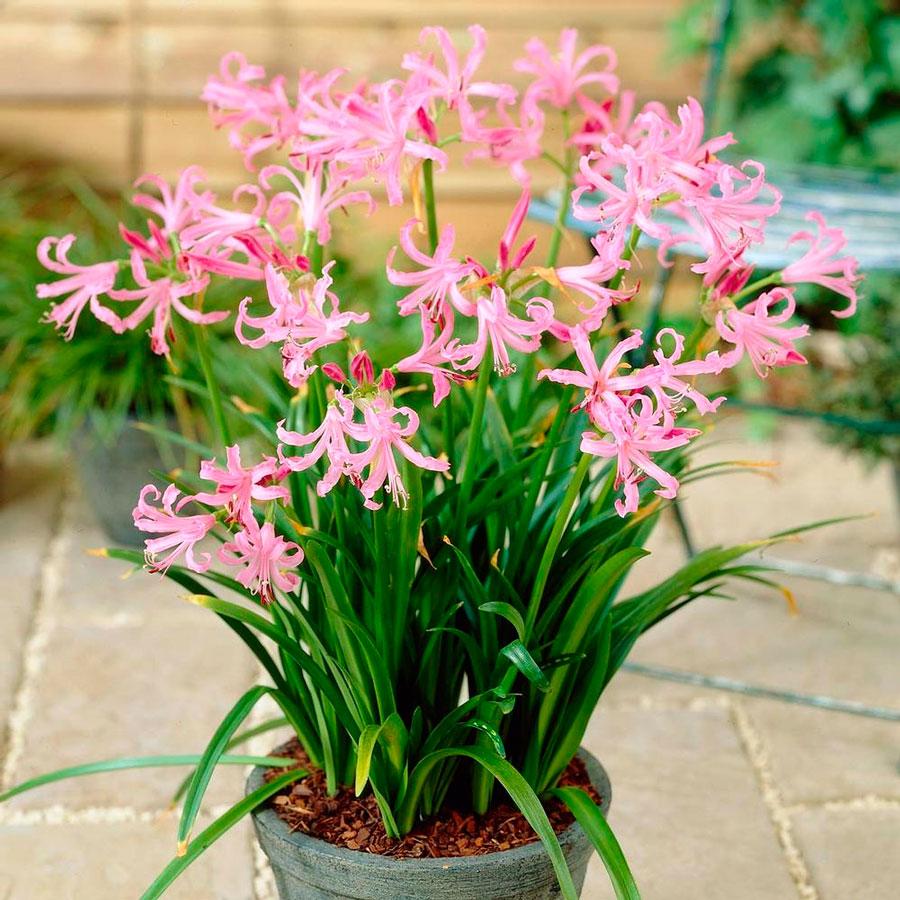 Посадка нерине Боудена и уход за растением