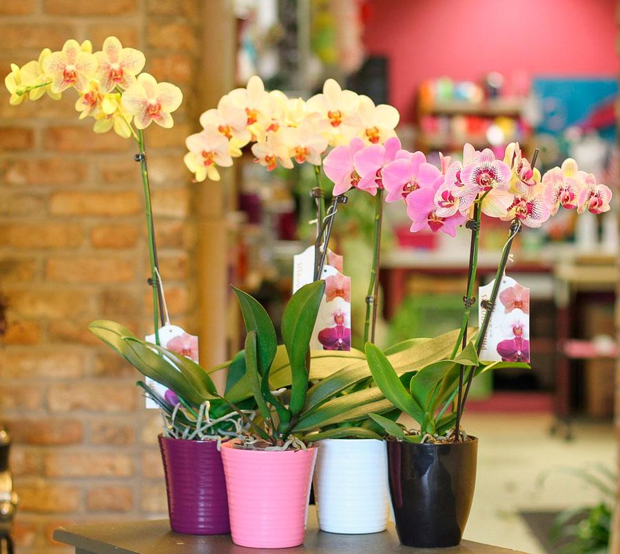 Фаленопсис орхидея описание растения посадка основной уход