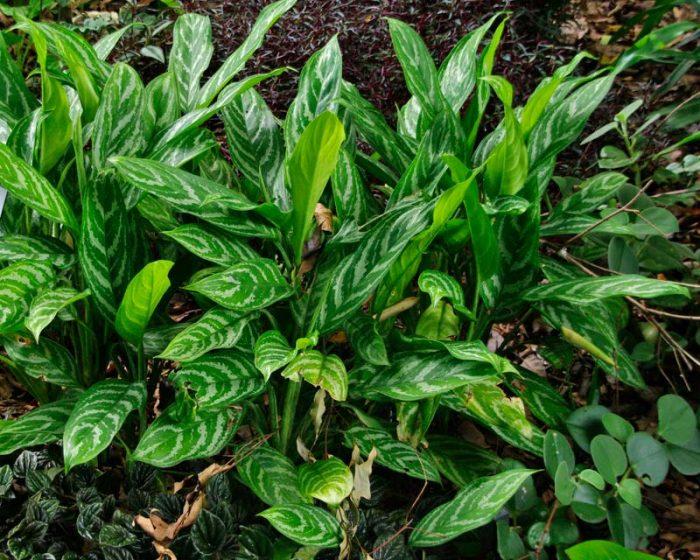 Аглаонема блестящая (Aglaonema nitidum)