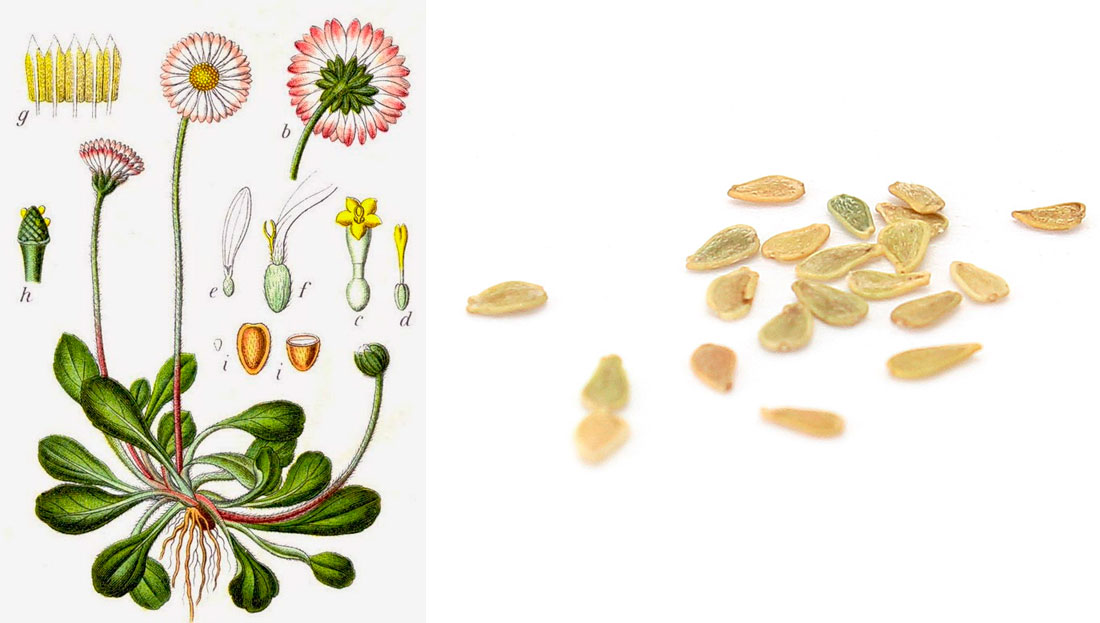 Как выращивать маргаритки в домашних условиях?