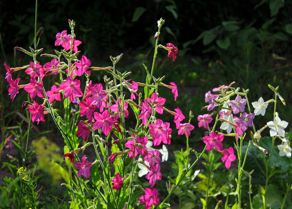 цветы душистый табак фото и описание