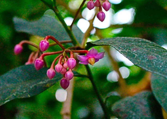 Ардизия низкая (Ardisia humilis)