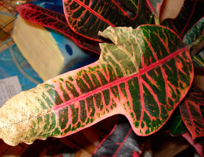 Как выращивать кротон в домашних условиях?