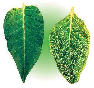 Вирусные заболевания растения