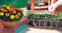 Выращивание бархатцев