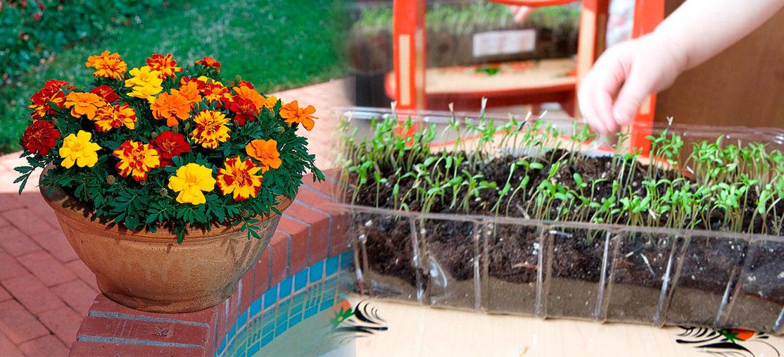 Выращивание бархатцев из семян в открытом грунте, в домашних.