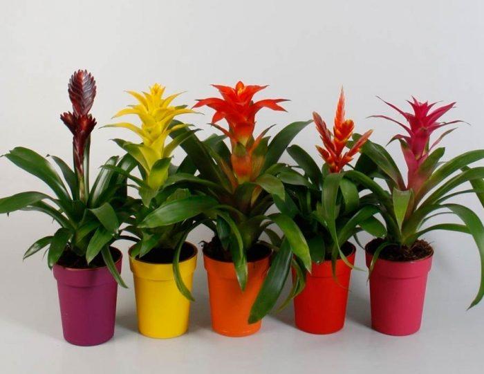 Комнатный цветок гузмания: уход в домашних условиях