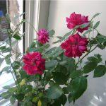 Бенгальские розы