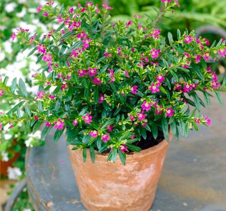 растение куфея