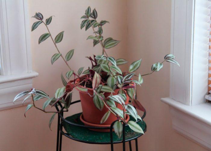 Уход за зебриной в домашних условиях