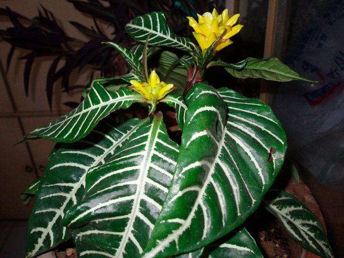 Афеландра оттопыренная (Aphelandra squarrosa), или афеландра скуарроса