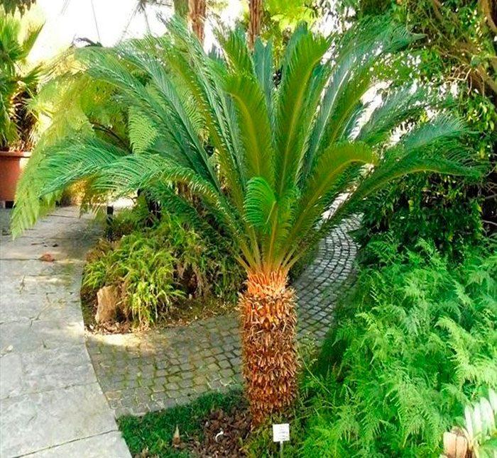 Цикас завитой, или цикас улитковидный (Cycas circinalis = Cycas neocaledonica)