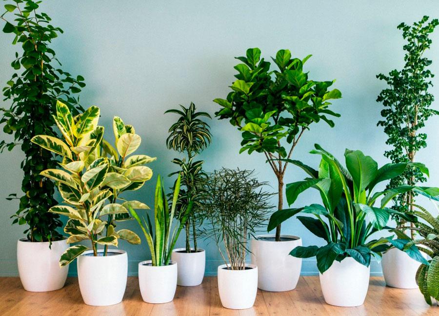 Растения улучшающие воздух в помещении. 15 комнатных растений для очистки воздуха в квартире