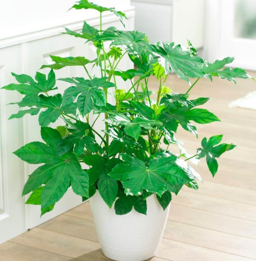 Фатсия 45 фото уход за комнатным цветком в домашних условиях размножение японской фатсии семенами болезни и вредители растения Почему сохнут и опадают листья