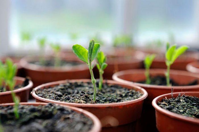 Выращивание душистого горошка из семян