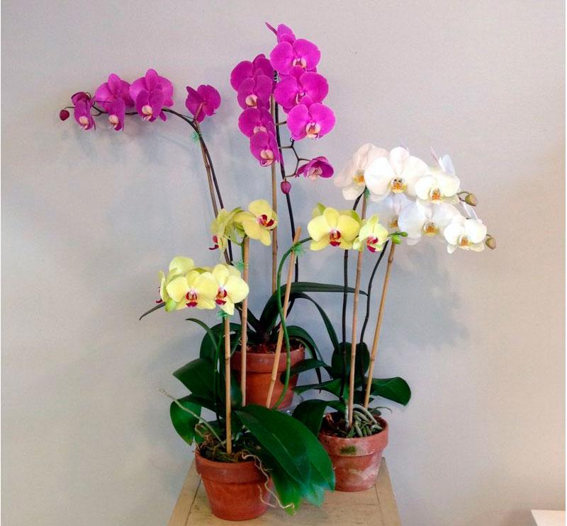 Орхидея Фаленопсис: уход в домашних условиях, пересадка и размножение