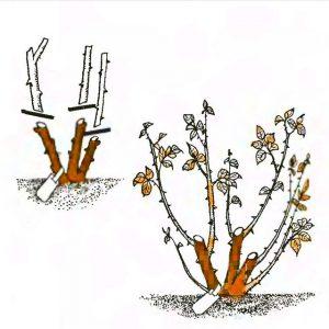 чайно-гибридные розы обрезка