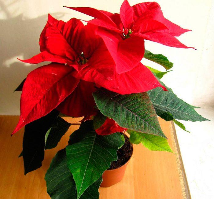 Пуансетия (Рождественская звезда)