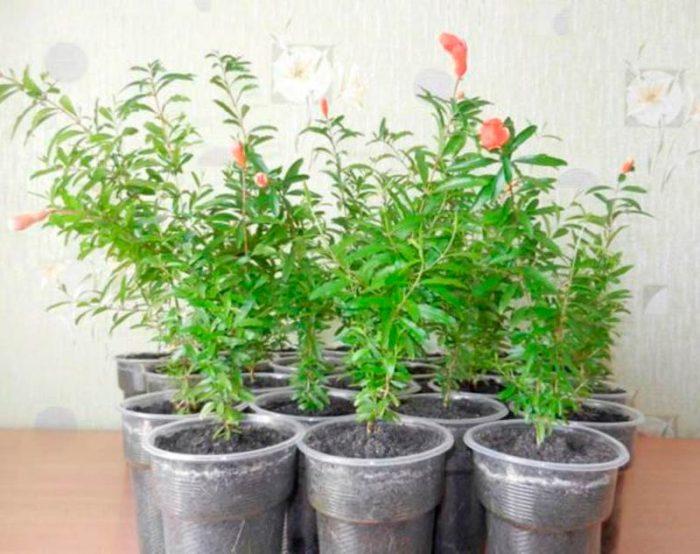 Выращивание граната из косточки