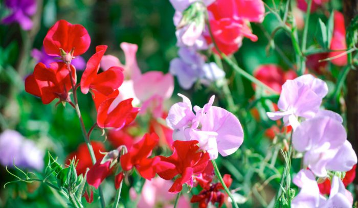 Душистый горошек цветение