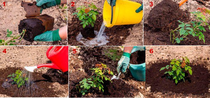 Пошаговая инструкция высадки роз