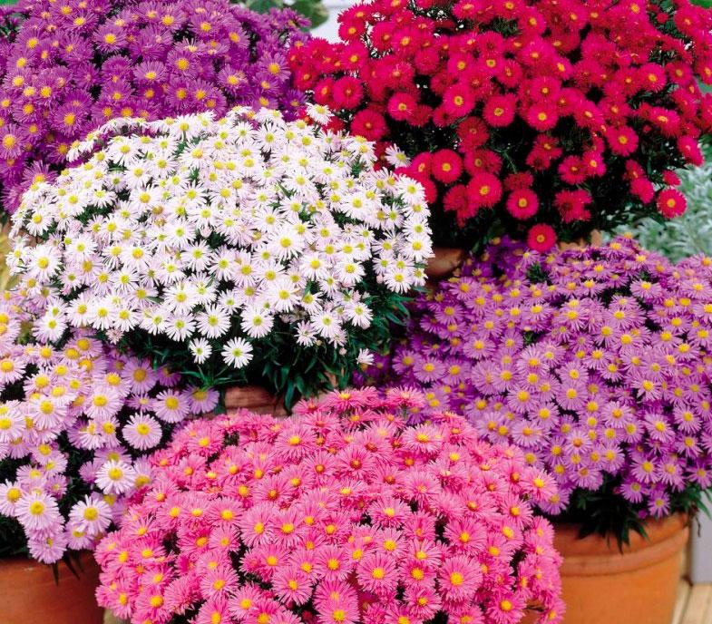 цветов многолетних картинки