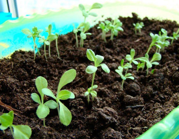Высев семян на рассаду
