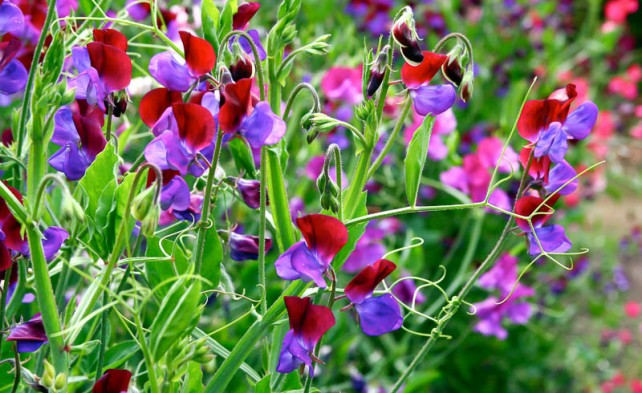 Особенности выращивания душистого горошка