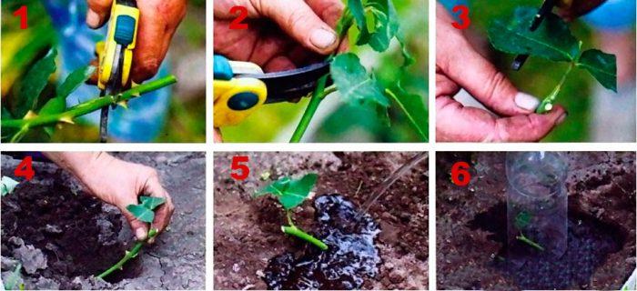 Как размножить садовую розу