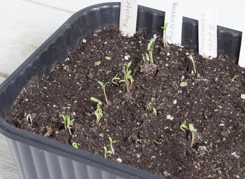 Посев бархатцев на рассаду