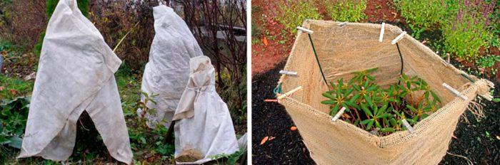 Подготовка рододендрона к зимовке