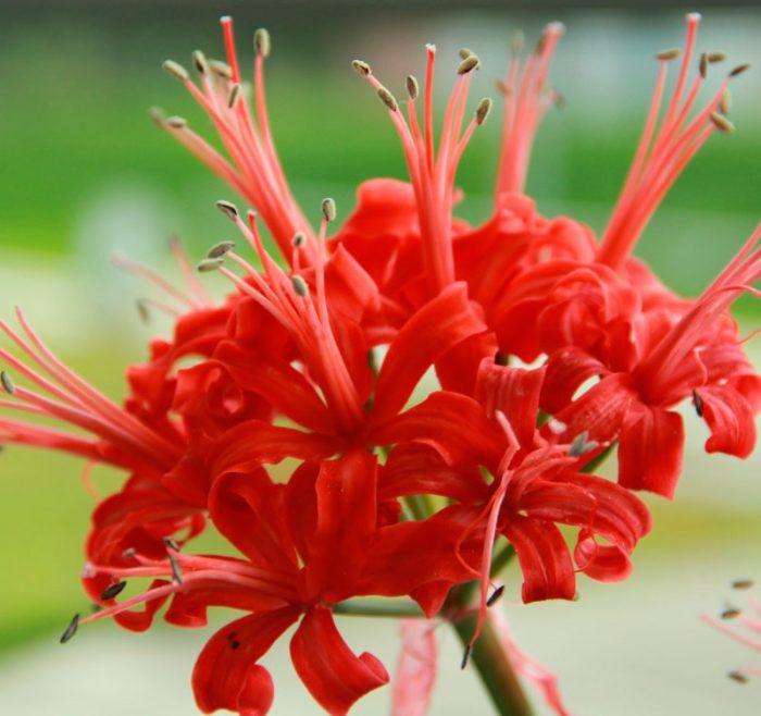 Нерине сарнейская (Nerine sarniensis)
