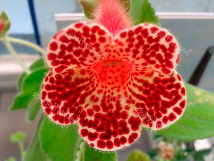Колерия пушистоцветковая (Kohleria eriantha)
