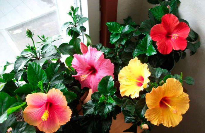 Гибискус (Китайская роза)